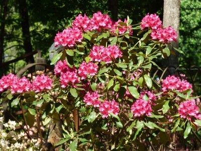 Fertilizing Rhododendrons: How And When Do You Fertilize Rhododendrons -  Rhododendrons are one of the first flowering shrubs to bloom in the spring. The popular bushes can be long-lived and healthy if given proper care. But to get the most flowering power, you may need to fertilize. Click this article to learn more.
