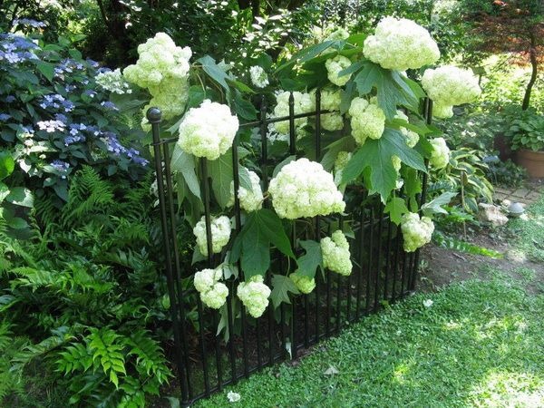 how to support hydrangea bush