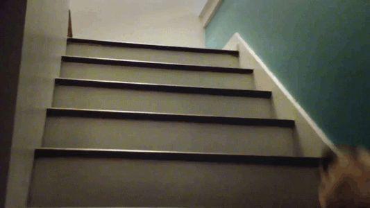 De mopshond is de enige hond die deze techniek van traplopen beheerst