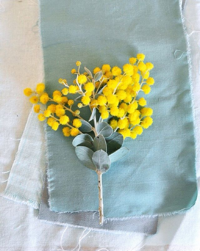 Queensland Silver Wattle (acacia podalyriifolia): This is Acacia podalyriifolia from Australia.It is a tall shrub 3-5m (9-15') for full sun or partial shade in well-drained soil. Attractive cut flower and foliage. The flowers and seeds have been used for dyeing materials.