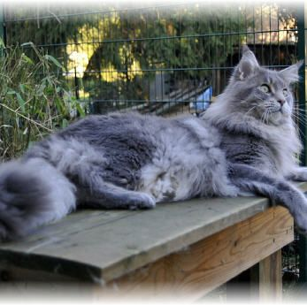 Maine Coon, blue silver ticked (as 25) Champion Rascal of Delia´s Castle