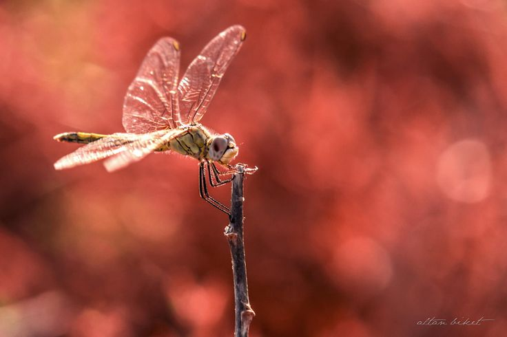 Anisoptera by Altan Biket - Photo 45683128 - 500px