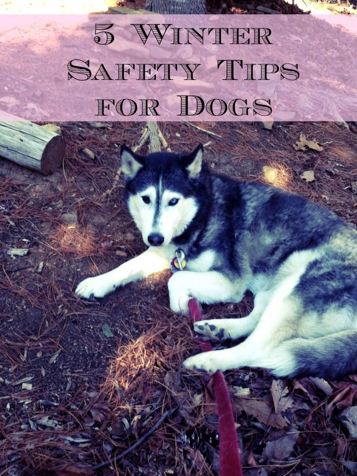 5 Winter Safety Tips for Dogs brought to you by Whisper the Husky