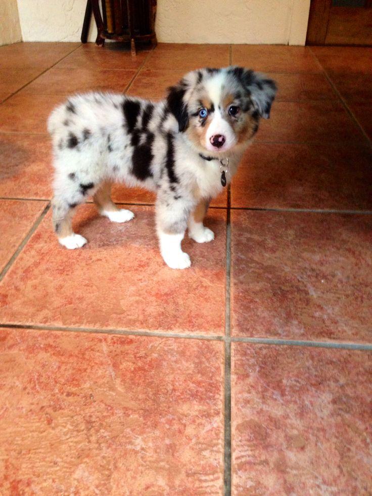 Mix Puppies Mini Blue Collie Border Heeler