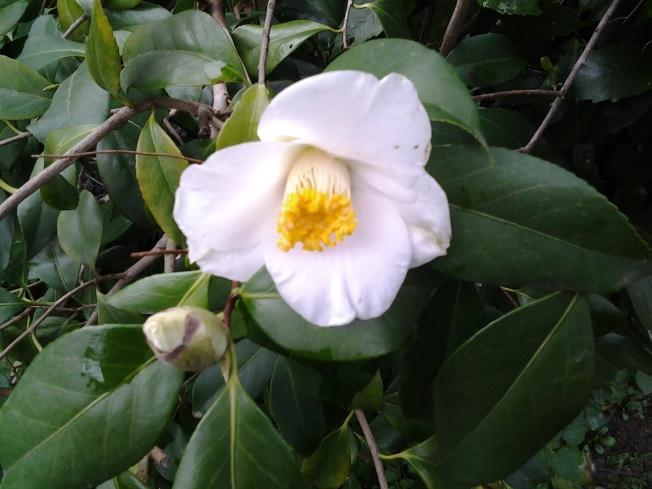 white camellia, I don't know the name!