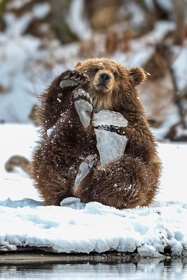 Brown Bear cub  (by Sergey Ivanov on 500px)