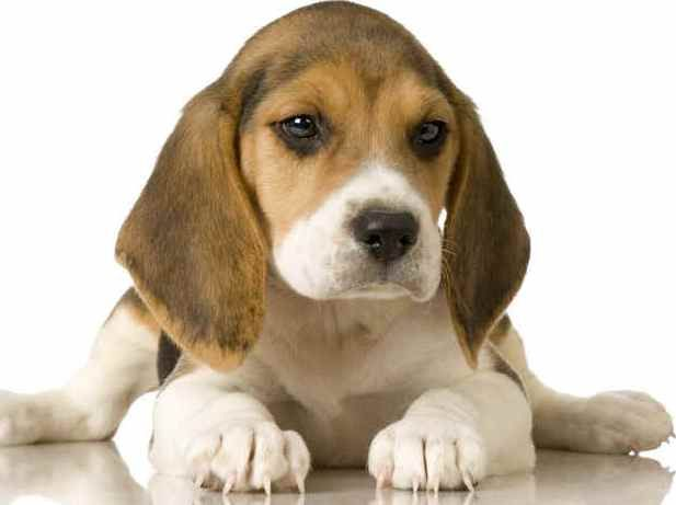 Again, I'm a total sucker for beagle puppies..
