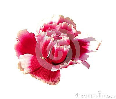 An  pink carnation on white background, a close up.