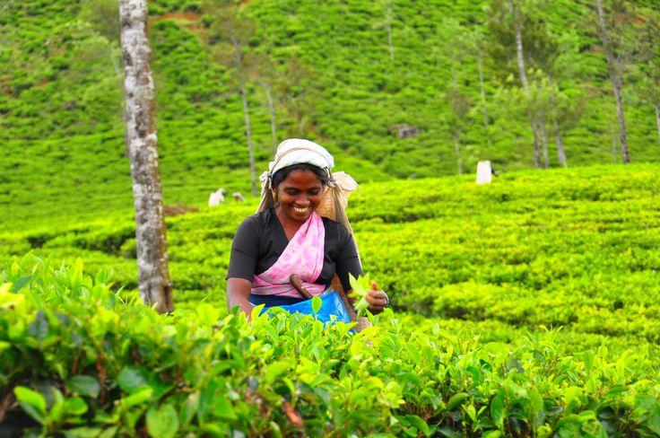 Tea pluckers in Sri Lanka's tea fields.