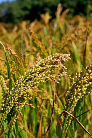 Image result for millet plant