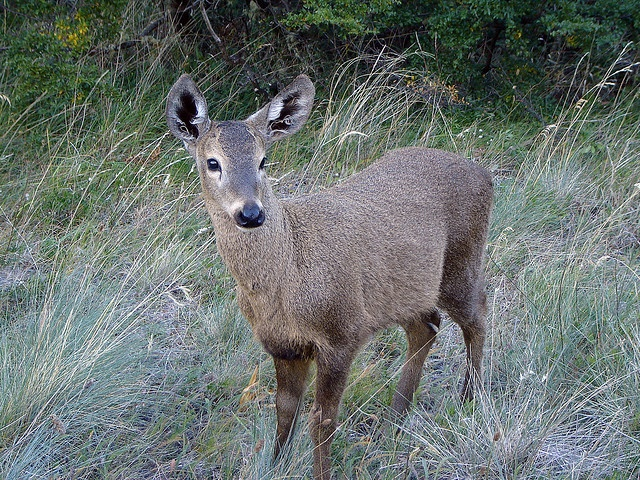 The Huemul, a deer that lives in the Chilean and Argentinian Patagonia. Photo by Evelyn Pfeiffer http://www.flickr.com/photos/lapfeiffer/page33/