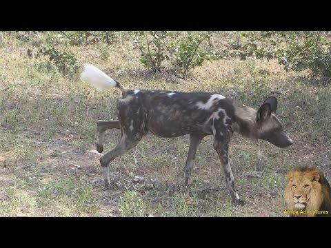 African Safaris | Wild Dog marking territory | Taga Safaris