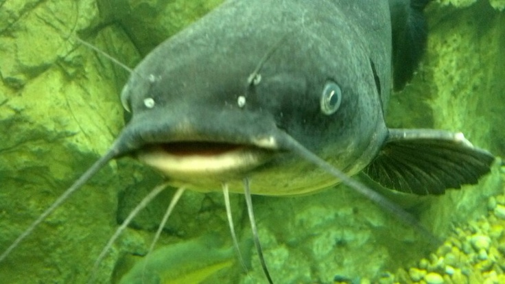 17 best images about fish catfish on pinterest blue for Fish not eating