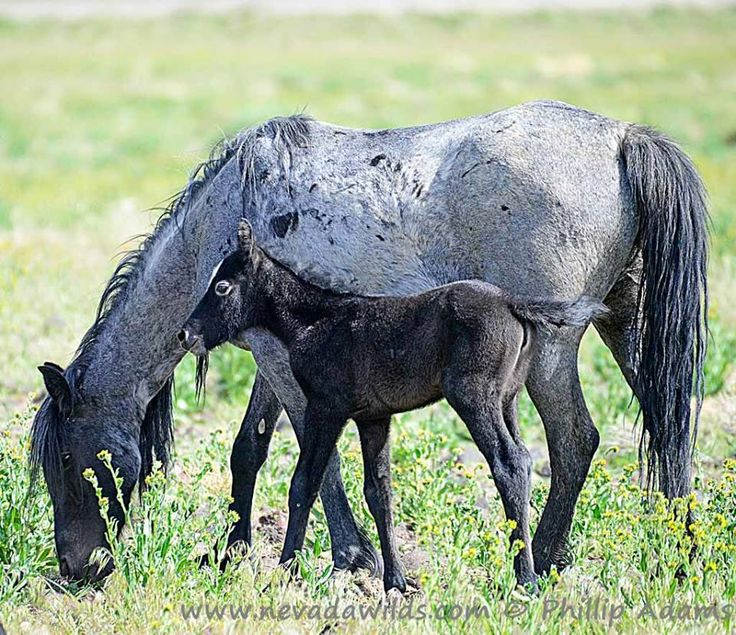 Blue roan filly, from a blue roan mare and blue roan stallion -stunning!!