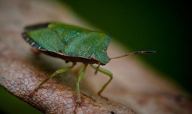 Green Shield bug  by Andy Drake, via Flickr