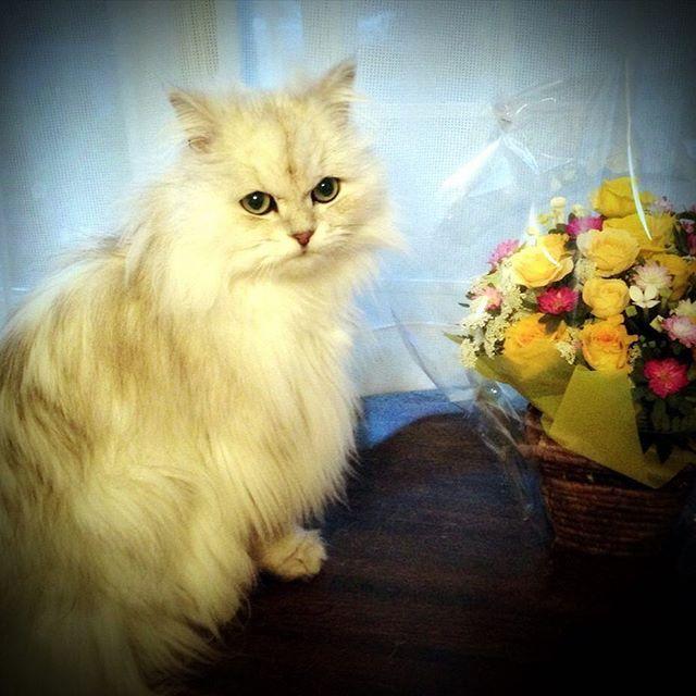 たまに登場 実家の猫 メイにゃん🐱 以前 母の好きな黄色いバラをプレゼントしたら 横に並んで出窓に座っていました✨ 主役はぼくだ🐱(笑) Cat in the parents' home. #猫 #ねこ #ネコ #チンチラペルシャ #花  #花かご #にゃんこ #ニャンコ #にゃんすたぐらむ #cat 母の #愛猫 #しろねこ #白猫 #白ねこ #かわいい #japan #catsagram #neko #nekostagram #バラ #ねこ部 #みんねこ #whitecat #bhinchillapersia #可愛い #kawaii #rose #おしゃれ #キャット