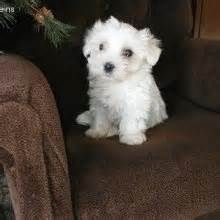 The Coton De Tulear Features A Breed Distinctive Medium Length Cotton Textured Coat Which Is Composed Of Hair Instead Fur Using Lengthy Topcoat