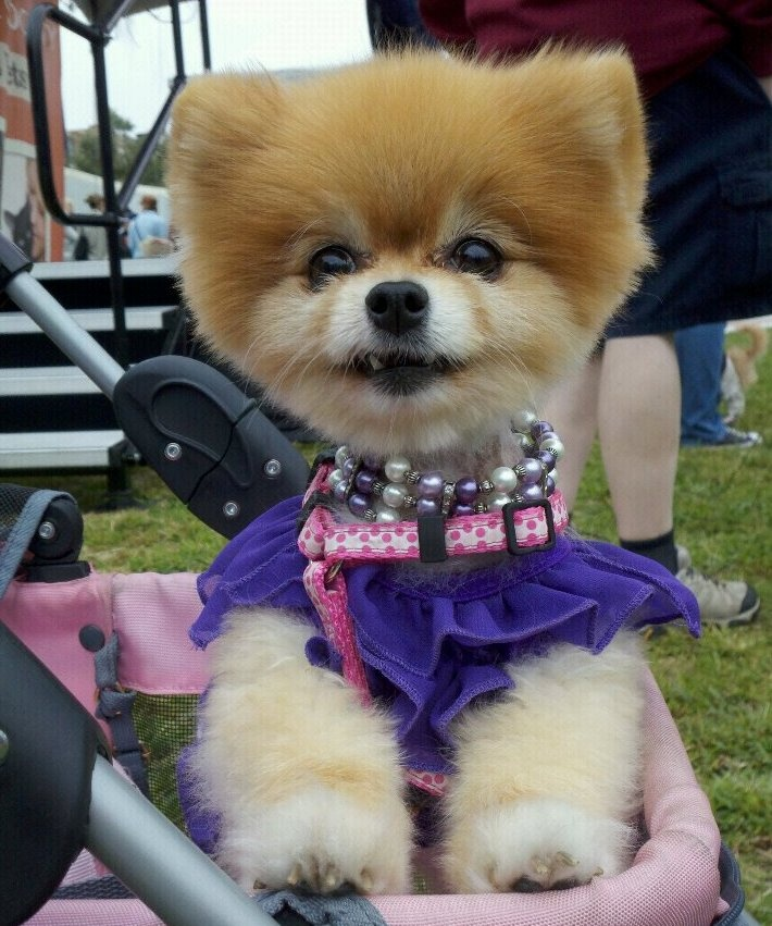 Bella wearing the colors of Southern California Pomeranian Rescue, she is their Pombassador.