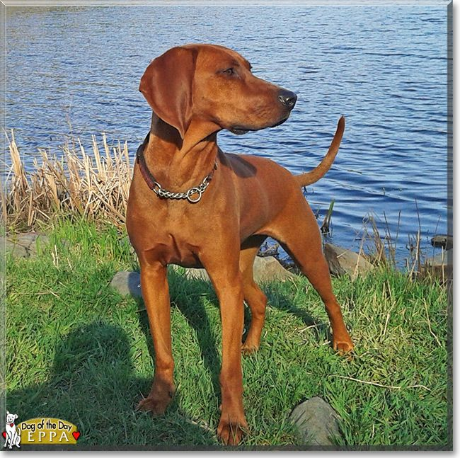 Eppa, the Redbone Hound Dog of the Day
