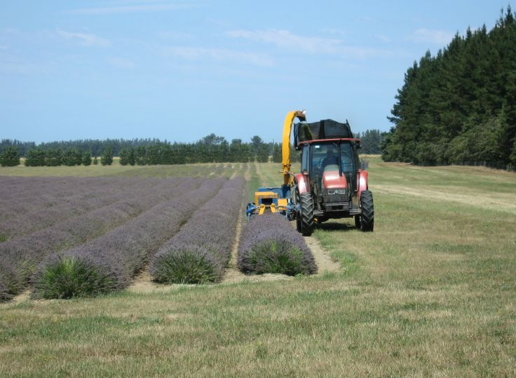 Harvesting the first row of lavender - 6