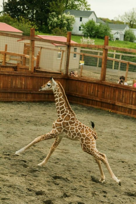 Celebrating 50 Days Of Tajiri: Baby Giraffe Is A Nod To His Dad Oliver, Says Jordan Patch
