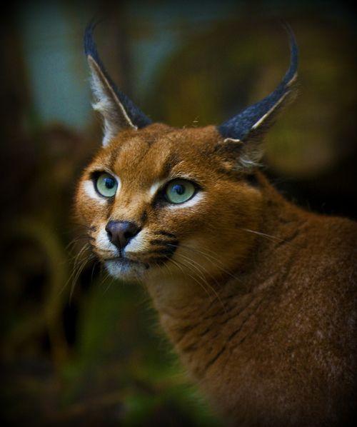 Caracal cat - photo#23