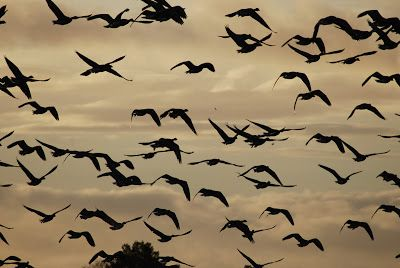 Pinkfeet geese overflying Threave Estate by NTS Dumfries and Galloway Countryside Team