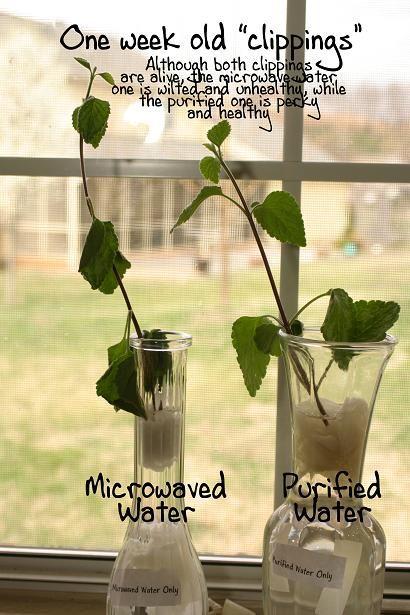 電子レンジの加熱により 水の分子構造は破壊される ⇒その水を与えられた植物はどうなるか? | Golden News +