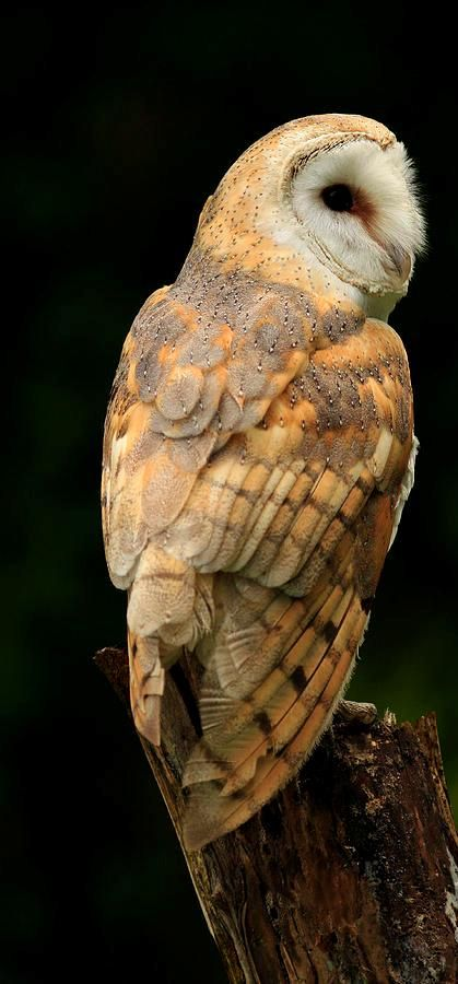 barn-owl-at-twilight-inspired-nature-photography-by-shelley-myke