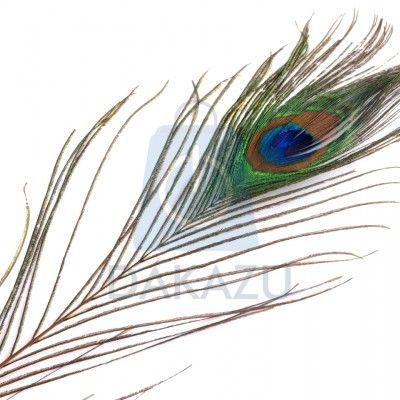 Pávie perie dĺžka 70-110 cm