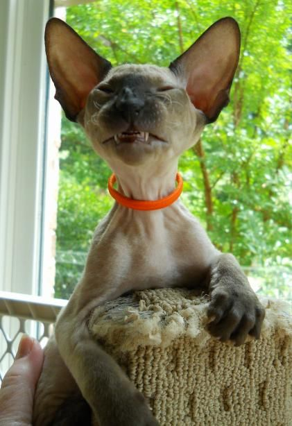 Peter-bald hairless cat what a smile>>>WHAT A HAPPY LITTLE BIT OF PURE LOVE <3