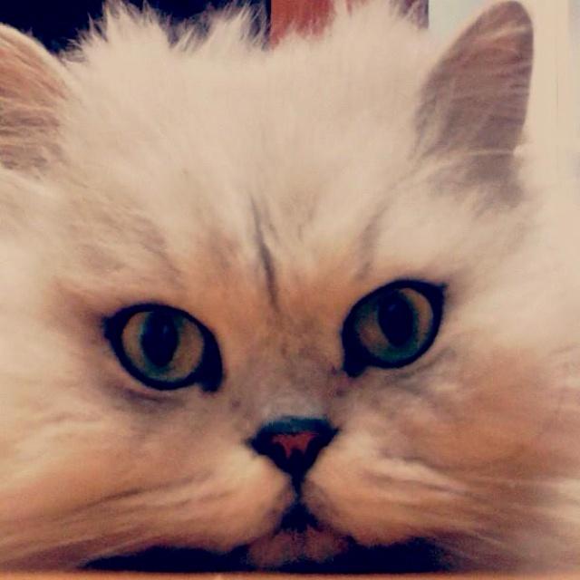 "My cat ""Doll""~"