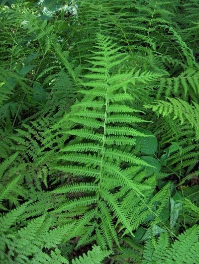 What Is A Marsh Fern: Marsh Fern Info And Care - Marsh fern care is minimal and the plant is fairly winter hardy. Read this article for more marsh fern info and decide if this plant is right for your landscape. Click here to get additional information.