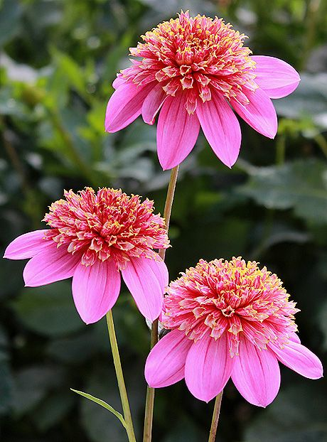 17 best images about anemone dahlia on pinterest gardens for Flowers that look like dahlias