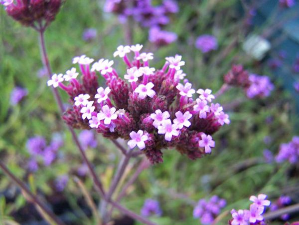 Verbenas are a rich source of nectar for honey bees and butterflies | Irish Examiner