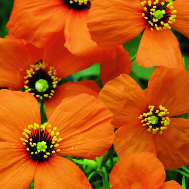 Johnsons World Botanics Wind Poppy Wilko Sow Between February And April For Beautiful