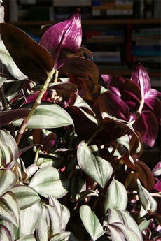 wandering jew plant...love this plant so very pretty and easy to take care of