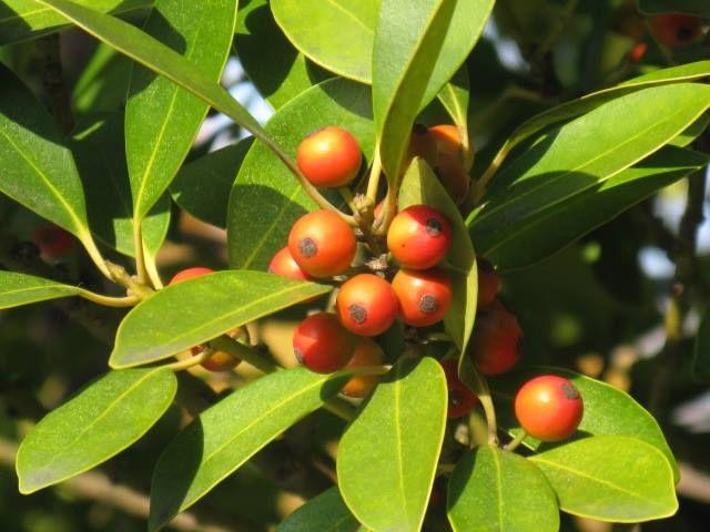 12月8日の誕生日の木は「モチノキ(黐の木)」です。 モチノキ科モチノキ属の常緑小高木。原産地は日本及び東アジア。本州(宮城県・山形県の以西)、四国、九州、沖縄、台湾、朝鮮半島、中国などに分布し、国内では特に九州地方に多く分布します。生育域としては海岸の岸壁や山地の斜面の常緑樹林内に点在します。 樹高は10m~20m。直径は30cmほどになり、直立し、整った卵形の樹形で、枝は太く、枝条は密生します。樹皮は灰白色で、皮目(樹皮にあって気孔にかわり呼吸を行う組織)があります。葉は、革質で光沢があり、葉の表は緑色、裏は黄緑色。長さ4cm~7cm、幅2cm~3cmの楕円形です。葉の縁は全縁(ギザギザが無い)で大きな波状となります。 開花期は4月~5月。雌雄異株で、葉の脇に黄緑色をした小さな花をたくさんつけます。果実は、11月~12月に赤く熟します。直径約1cmの球形で、中には核果が4個入っています。ヒヨドリなど、野鳥に食されます。年によって果実の豊凶の差が大きく、隔年結実の傾向があるともいわれています。…