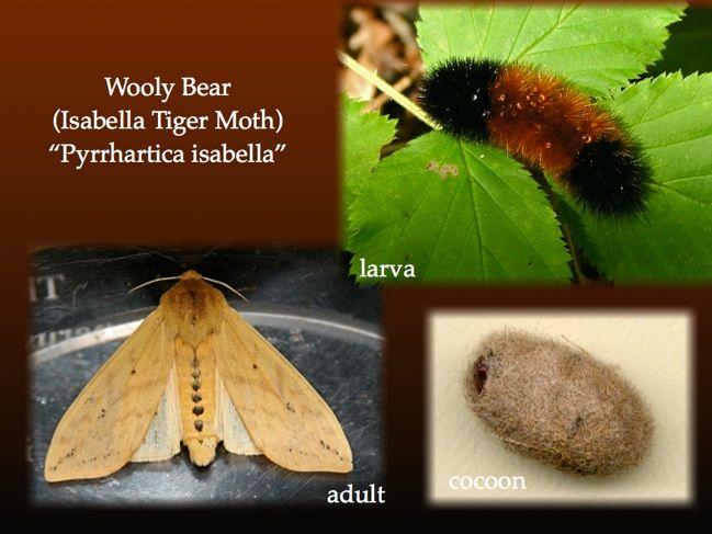 Wooly Bear    Isabella Tiger Moth