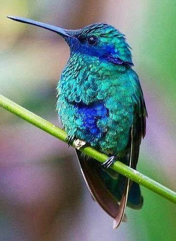 parkling Violetear Hummingbird via Bird's Eye View at www.Facebook.com/aBirdsEyeViewForYou