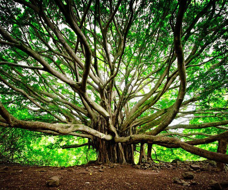 Les arbres les plus beaux du Monde - Arbre Banyan - Hawaii