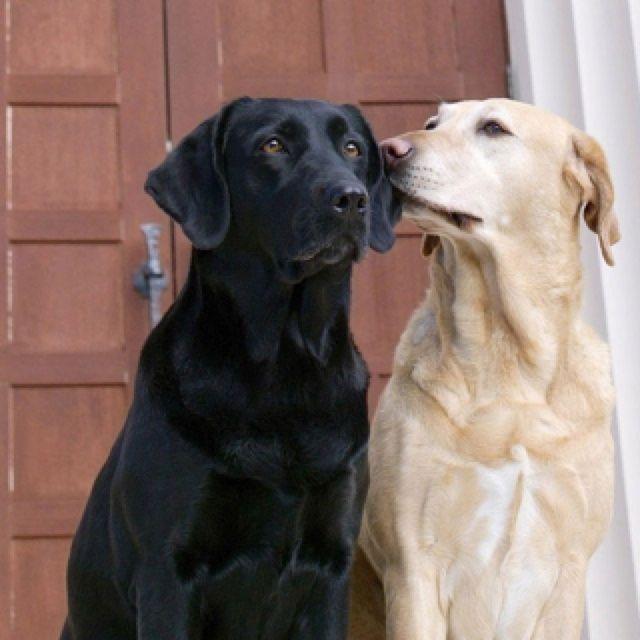 Black Labrador Full Grown Black Labrador Grown Schwarzer
