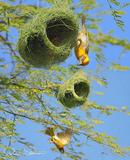 Golden Weaverbird...  It's not the load that breaks you down, it's the way you carry it - Lena Horne.
