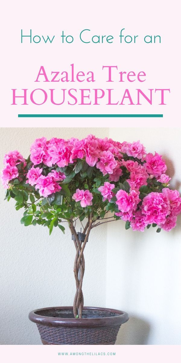 How To Care For An Azalea Tree Houseplant In 2020 Indoor Flowers Indoor Flowering Plants Azalea Flower
