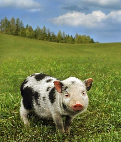 I think I want a Micro-pig....I will name him cow, or maybe moo!