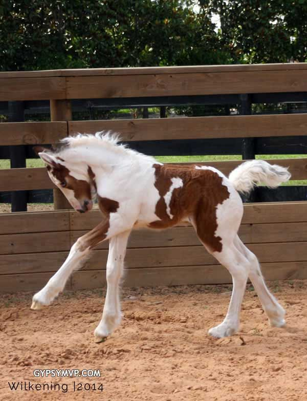 Gypsy Vanner Horses for Sale | Filly | Tri-Color | MVP Curly Que