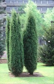Juniperus communis Hibernica IRLANNINKATAJA   Paratiisin Taimitarha