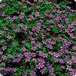 75=Бакопа Голубая вершина, 3 мультидраже (1 драже 5-7 растений) Профессиональные семена