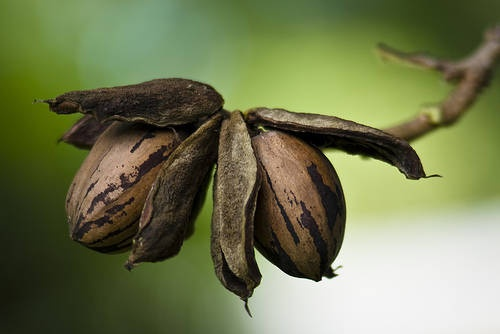 Pecans.  Trees are everywhere.  These wonderful nuts are used in bourbon pecan pies, pralines, and many other wonderful desserts.