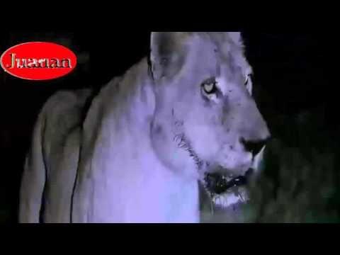 SUPER MORDIDA DE HIPOPÓTAMO A LEÓN SUPER ATAQUE ANIMAL